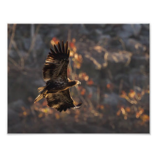 Eagle In the Golden Hour Photo Print