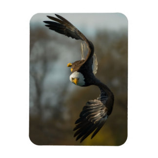 Eagle on the hunt rectangle magnets