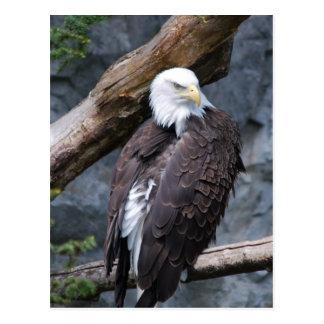 Eagle Perch Postcard