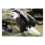 Eagle Spreading Wings Photo Art