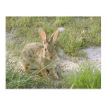 Early Evening Bunny Post Cards