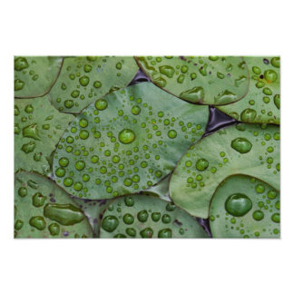 Early morning dewdrops on lily pads, Laurel Photo Print
