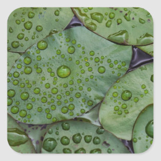 Early morning dewdrops on lily pads, Laurel Square Sticker