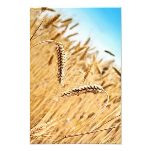 Ears Of Golden Wheat Against Wheat Field Photograph