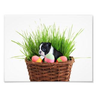 Easter Boston Terrier  dog Photograph