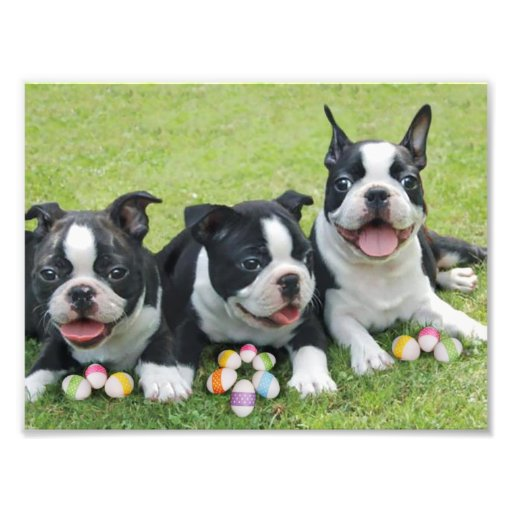 Easter Boston terriers Photo Print