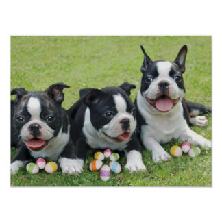 Easter Boston terriers Poster