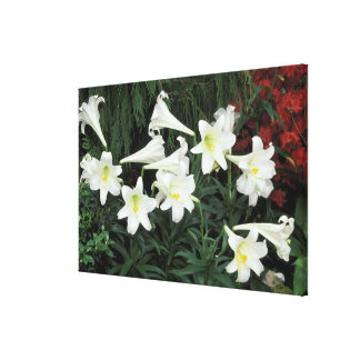 Easter Lily (Lilium regale) Gallery Wrap Canvas