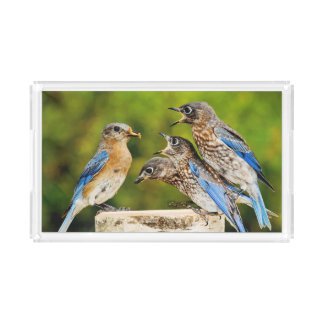 Eastern Bluebird Acrylic Tray