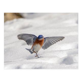 Eastern Bluebird dancing in the snow Postcard