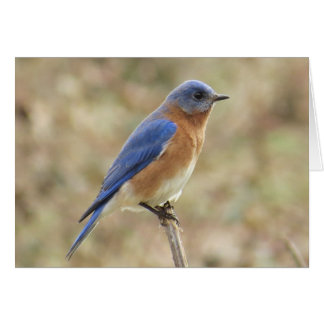 Eastern Bluebird Greeting Card