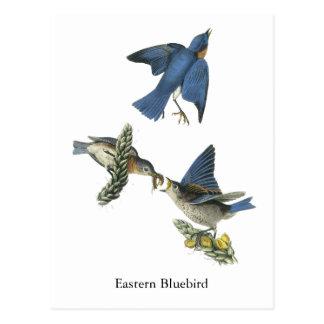 Eastern Bluebird, John Audubon Postcard