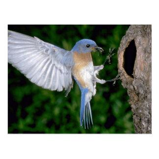 Eastern Bluebird landing Postcard
