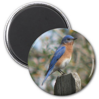 Eastern Bluebird Male Magnet