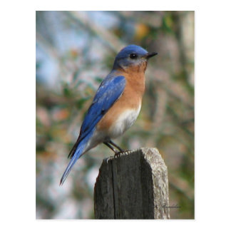 Eastern Bluebird Male Postcard