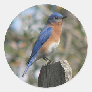 Eastern Bluebird Male Sticker