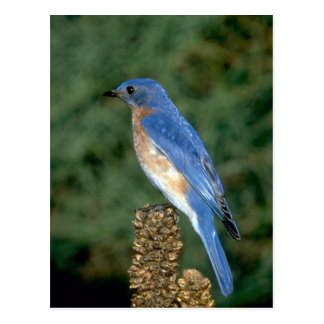 Eastern Bluebird on a mullein stalk Postcard
