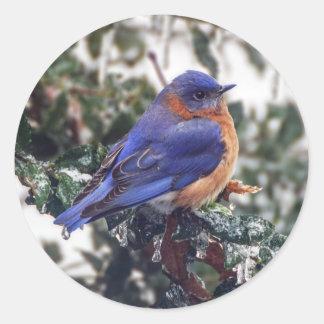 Eastern Bluebird on Holly Round Sticker
