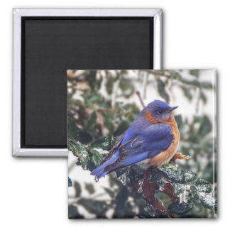 Eastern Bluebird on Holly Square Magnet