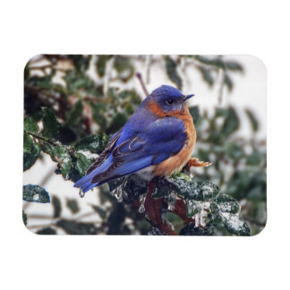 Eastern Bluebird on Ice Covered Holly Magnet