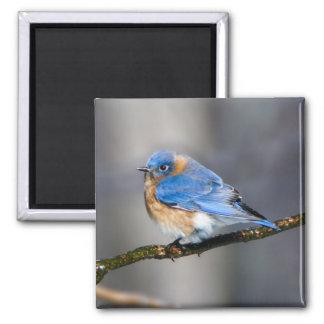 Eastern Bluebird on Limb Square Magnet