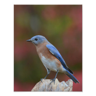 Eastern bluebird photo print