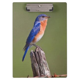 Eastern Bluebird (Sialia Sialis) Adult Male 2 Clipboard