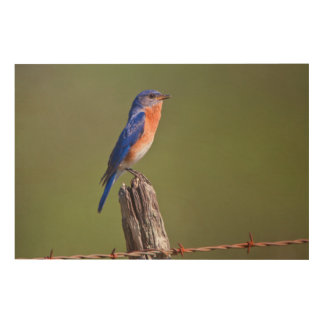 Eastern Bluebird (Sialia Sialis) Adult Male 2 Wood Wall Decor