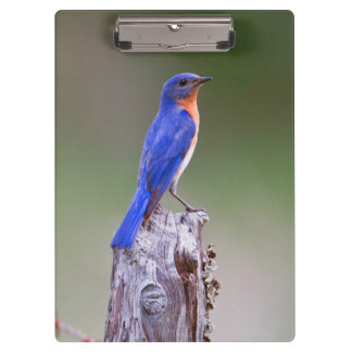Eastern Bluebird (Sialia Sialis) Adult Male Clipboard