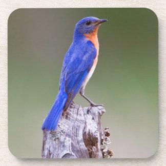 Eastern Bluebird (Sialia Sialis) Adult Male Coaster