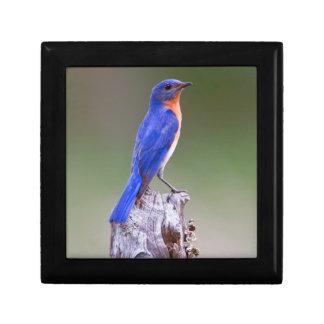 Eastern Bluebird (Sialia Sialis) Adult Male Gift Box