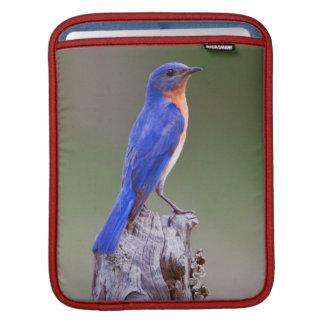 Eastern Bluebird (Sialia Sialis) Adult Male iPad Sleeve