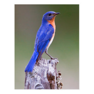 Eastern Bluebird (Sialia Sialis) Adult Male Postcard
