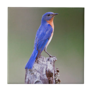 Eastern Bluebird (Sialia Sialis) Adult Male Tile