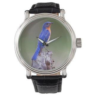 Eastern Bluebird (Sialia Sialis) Adult Male Watch