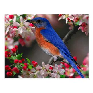 Eastern Bluebird (Sialia sialis) Postcard