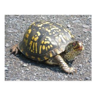 Eastern Box Turtle Postcard