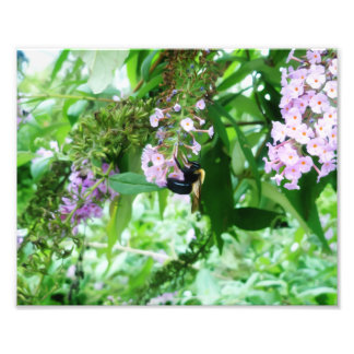 Eastern Carpenter Bee on Salvia flower Photo Print