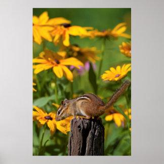 Eastern Chipmunk on fence post near flower garden Poster