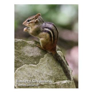 Eastern Chipmunk Postcard