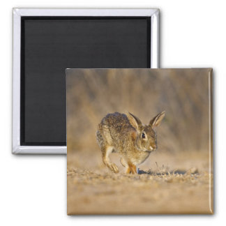 Eastern cottontail rabbit hopping magnet