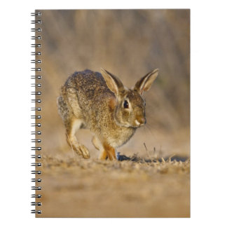 Eastern cottontail rabbit hopping notebooks