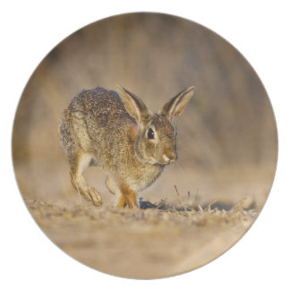 Eastern cottontail rabbit hopping plate
