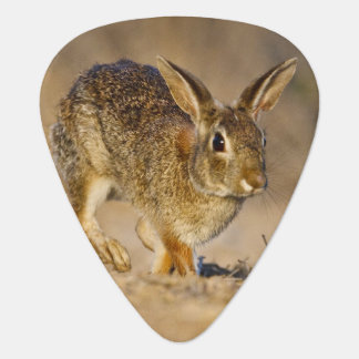 Eastern cottontail rabbit hopping plectrum