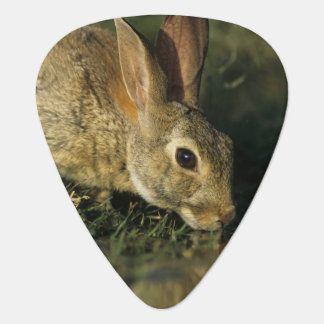Eastern Cottontail, Sylvilagus floridanus, 2 Guitar Pick