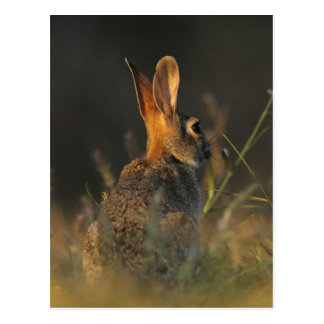 Eastern Cottontail, Sylvilagus floridanus, Postcard