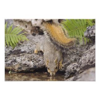 Eastern Fox Squirrel, Sciurus niger, adult 2 Photo Print
