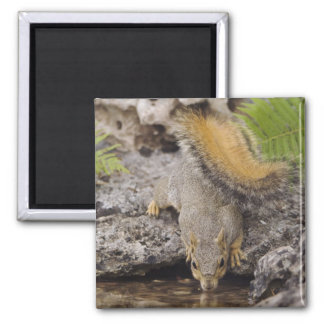 Eastern Fox Squirrel, Sciurus niger, adult 2 Square Magnet