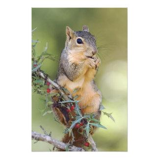 Eastern Fox Squirrel Sciurus niger adult Art Photo