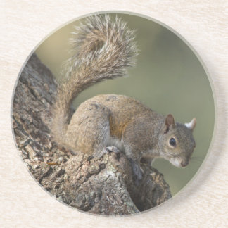 Eastern Gray Squirrel, or grey squirrel Coaster